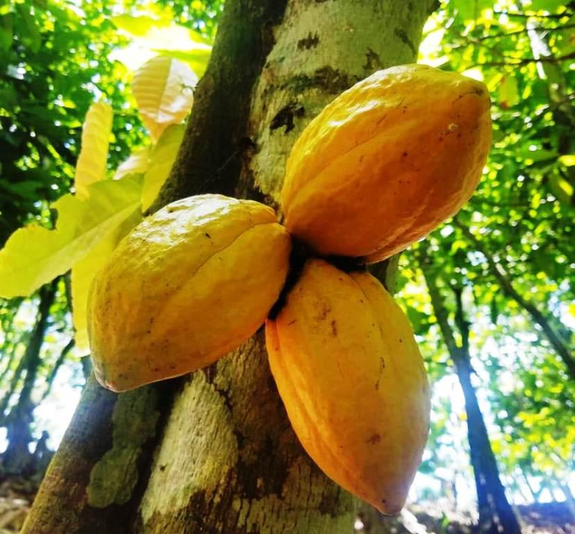 Productores de cacao en Altamira siguen tecnificando sus actividades con proyecciones internacionales